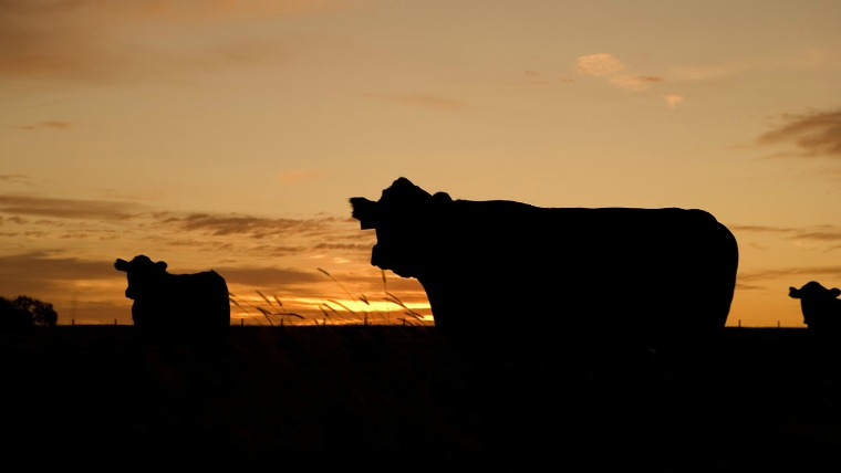 cattle sunset - ranch security